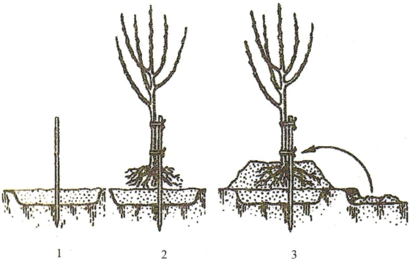 Обрезка колоновидных яблонь: схема как правильно обрезать 74