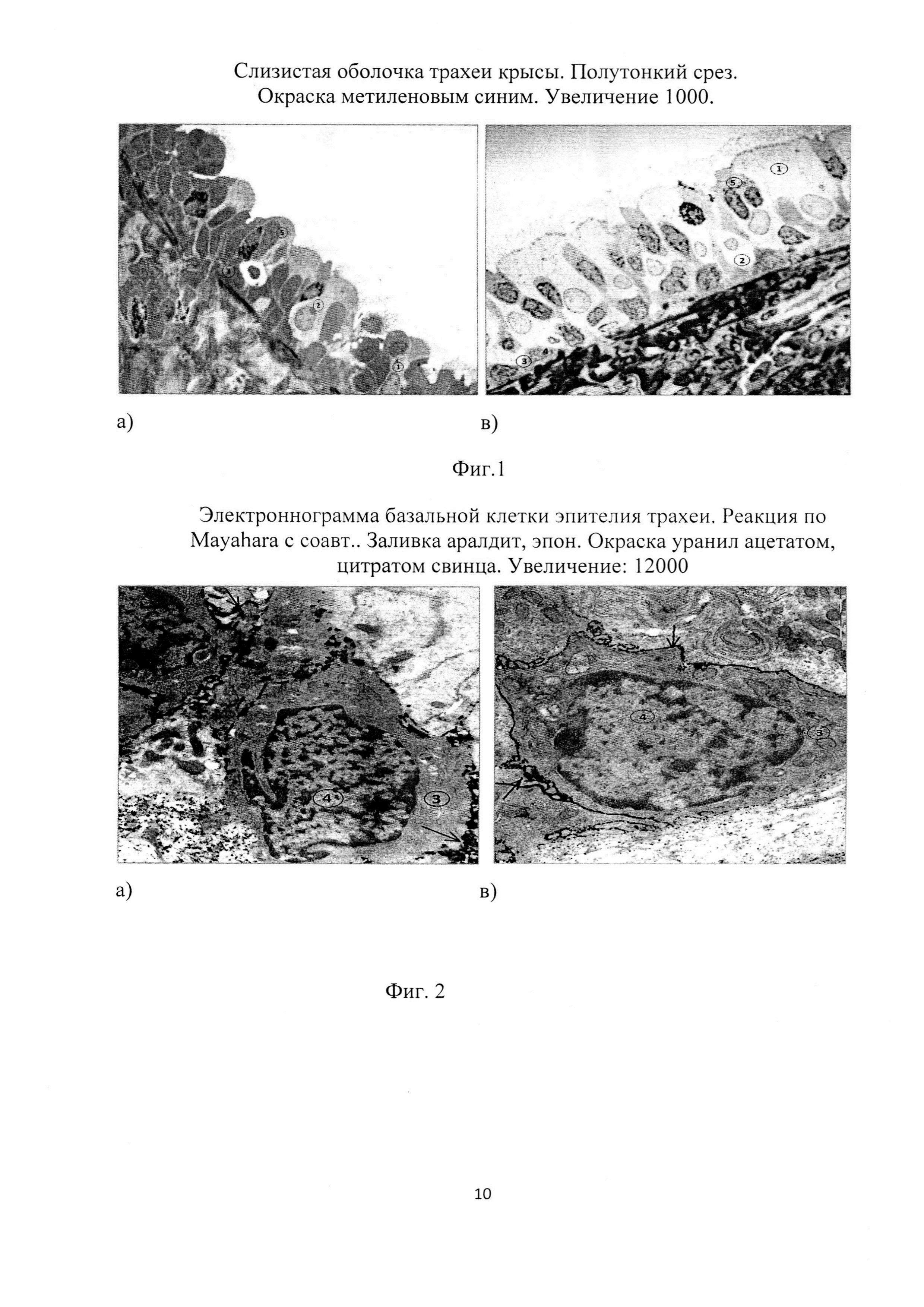 Способ активации регенерационного потенциала эпителия трахеи старых крыс при общем охлаждении организма