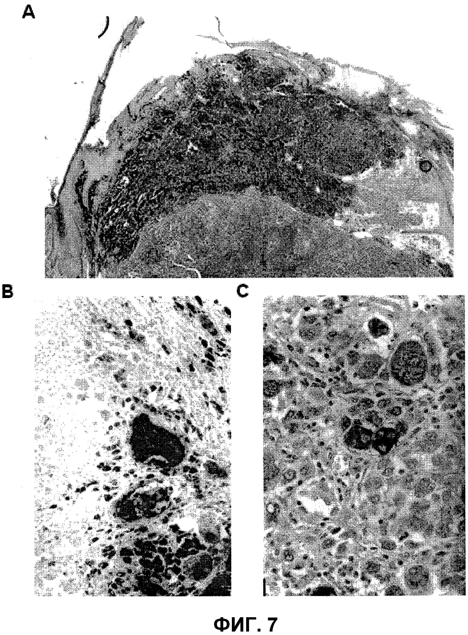 Клеточные линии, содержащие их композиции для лечения меланом, способы получения композиций и способы лечения